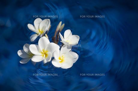 水に浮かぶ白いプルメリア-3の写真素材 [FYI00443861]