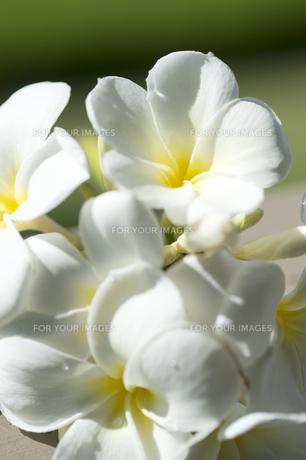 白いプルメリア-2の素材 [FYI00443862]
