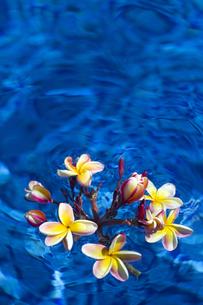 水に浮かぶ赤いプルメリア-1の素材 [FYI00443864]