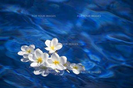 水に浮かぶ白いプルメリア-6の写真素材 [FYI00443867]