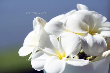 白いプルメリア-1の写真素材 [FYI00443874]