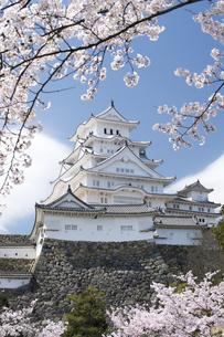 姫路城と桜、改修後-2の写真素材 [FYI00443889]