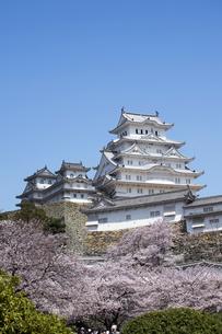 姫路城と桜、改修後-8の写真素材 [FYI00443892]