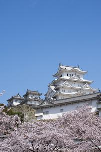 姫路城と桜、改修後-5の写真素材 [FYI00443909]
