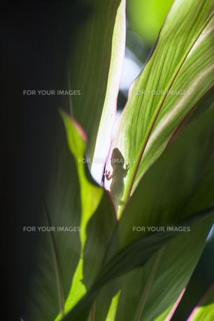 Gecko(ゲッコウ)のシルエット、カウアイ島、ハワイの写真素材 [FYI00444045]