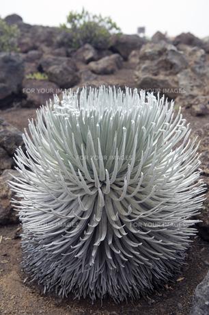 シルバーソード(銀剣草)、ハレアカラ、マウイ島、ハワイ-2の写真素材 [FYI00444208]