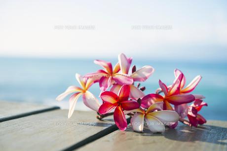 ピンクのプルメリアフラワー-6の写真素材 [FYI00444229]