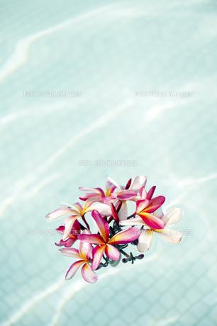 プールに浮かべたピンクのプルメリア-2の写真素材 [FYI00444239]