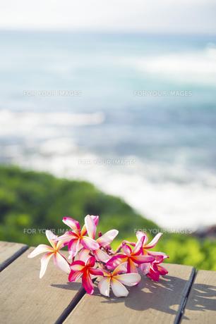 ピンクのプルメリアフラワー-5の写真素材 [FYI00444245]