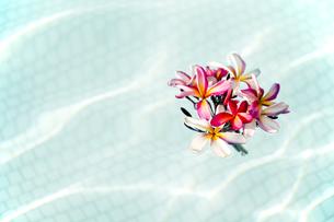 プールに浮かべたピンクのプルメリア-1の素材 [FYI00444246]