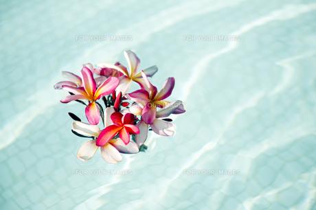 プールに浮かべたピンクのプルメリア-3の素材 [FYI00444248]