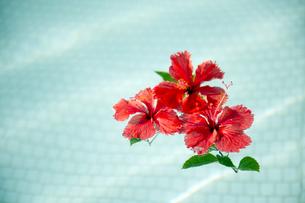プールに浮かべた赤いハイビスカス-1の素材 [FYI00444253]