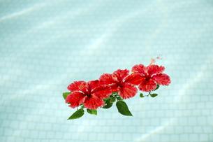 プールに浮かべた赤いハイビスカス-6の素材 [FYI00444254]