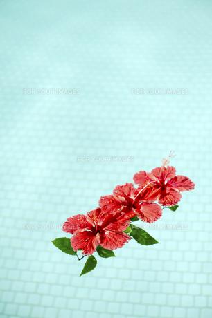 プールに浮かべた赤いハイビスカス-5の素材 [FYI00444259]