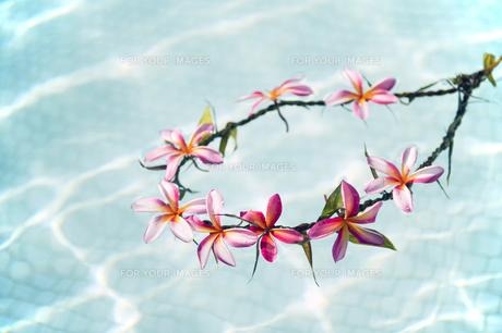 プールに浮かべたプルメリアの手作りのレイ-1の写真素材 [FYI00444260]