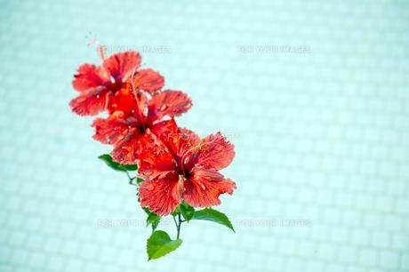 プールに浮かべた赤いハイビスカス-3の写真素材 [FYI00444262]