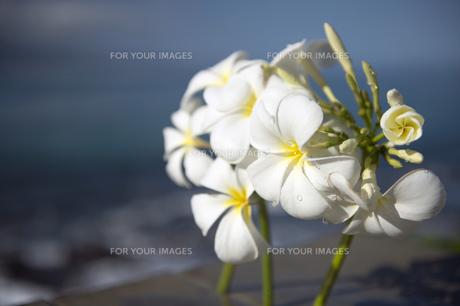 白いプルメリアフラワー-2の写真素材 [FYI00444264]