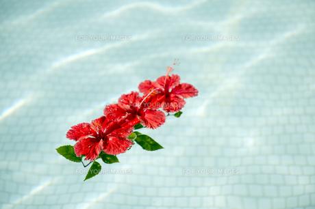 プールに浮かべた赤いハイビスカス-4の写真素材 [FYI00444267]