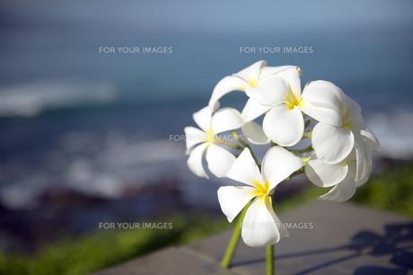 白いプルメリア-1の写真素材 [FYI00444270]