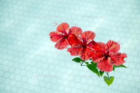 プールに浮かべた赤いハイビスカス-2の写真素材 [FYI00444272]