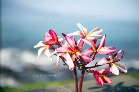 ピンクのプルメリアフラワー-3の写真素材 [FYI00444274]