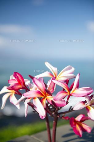 ピンクのプルメリアフラワー-4の写真素材 [FYI00444276]