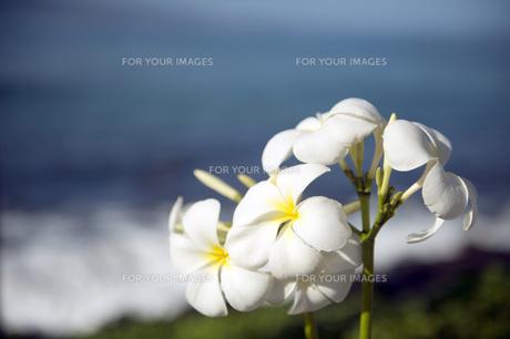白いプルメリアフラワー-4の写真素材 [FYI00444277]