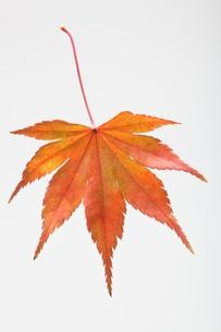 fallen_leaves_090の写真素材 [FYI00444381]