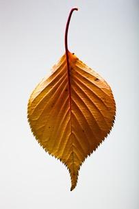 fallen_leaves_029の写真素材 [FYI00444403]