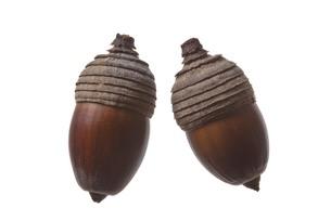 seed(acorn)_10の写真素材 [FYI00444424]