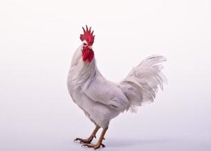 cock_1の写真素材 [FYI00444464]
