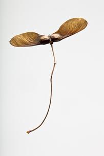 seed(maple)_06の写真素材 [FYI00444569]