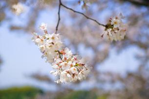 cherry_blossom_006の素材 [FYI00444635]