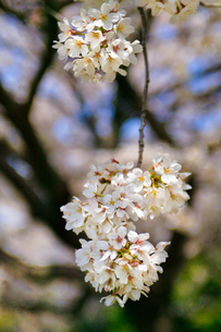 cherry_blossom_008の素材 [FYI00444638]