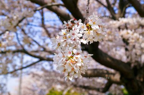 cherry_blossom_005の素材 [FYI00444642]