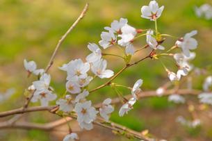 cherry_blossom_013の素材 [FYI00444644]