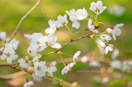 cherry_blossom_012の素材 [FYI00444645]