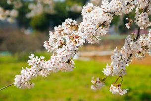 cherry_blossom_009の素材 [FYI00444646]