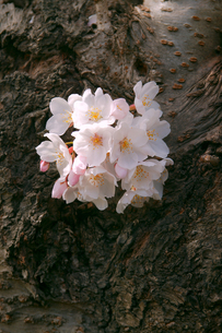 cherry_blossom_010の素材 [FYI00444647]