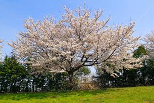 cherry_blossom_002の素材 [FYI00444648]