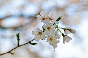 cherry_blossom_014の素材 [FYI00444650]