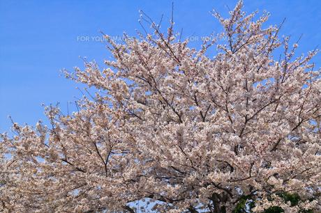cherry_blossom_016の素材 [FYI00444651]