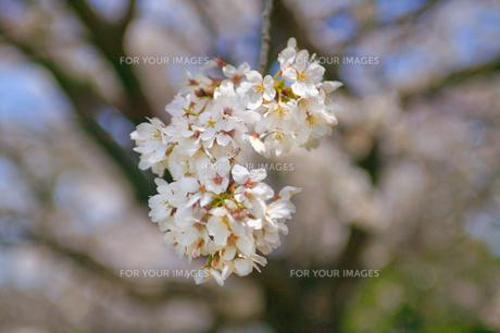 cherry_blossom_007の素材 [FYI00444653]