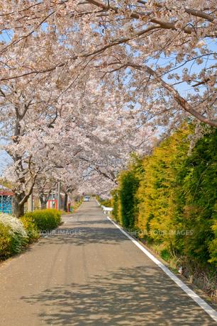 cherry_blossom_018の素材 [FYI00444663]
