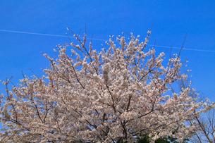 cherry_blossom_017の素材 [FYI00444665]