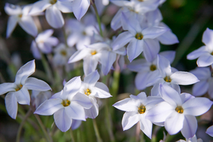 flower(Ipheion_uniflorum)_001の写真素材 [FYI00444682]