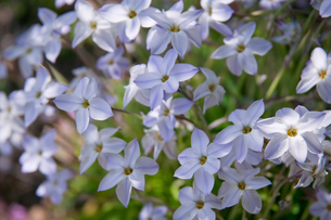 flower(Ipheion_uniflorum)_002の写真素材 [FYI00444689]