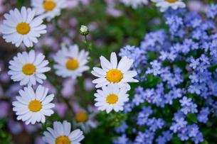 flower(marguerite)_002の写真素材 [FYI00444690]