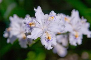 flower(Iris_japonica)_001の写真素材 [FYI00444691]
