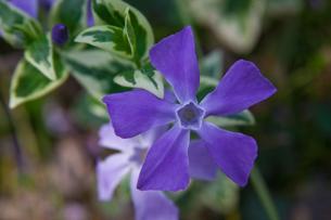 flower(vinca)_001の写真素材 [FYI00444696]